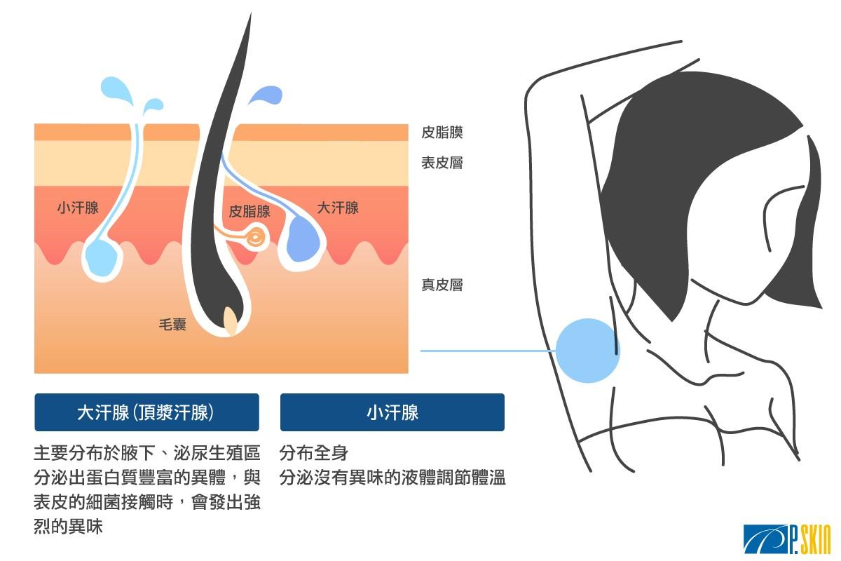 大汗腺(頂漿腺)和小汗腺的差異介紹